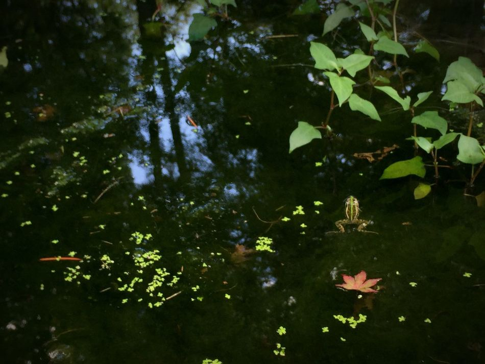 Nature Leaf Green Color Beauty In Nature Water Reflection Frog