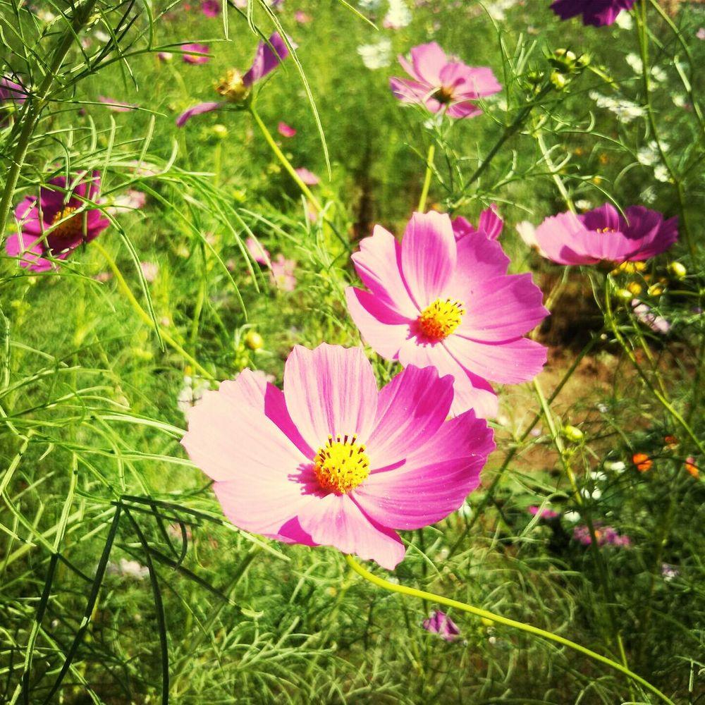 Flower Cosmos Autumn