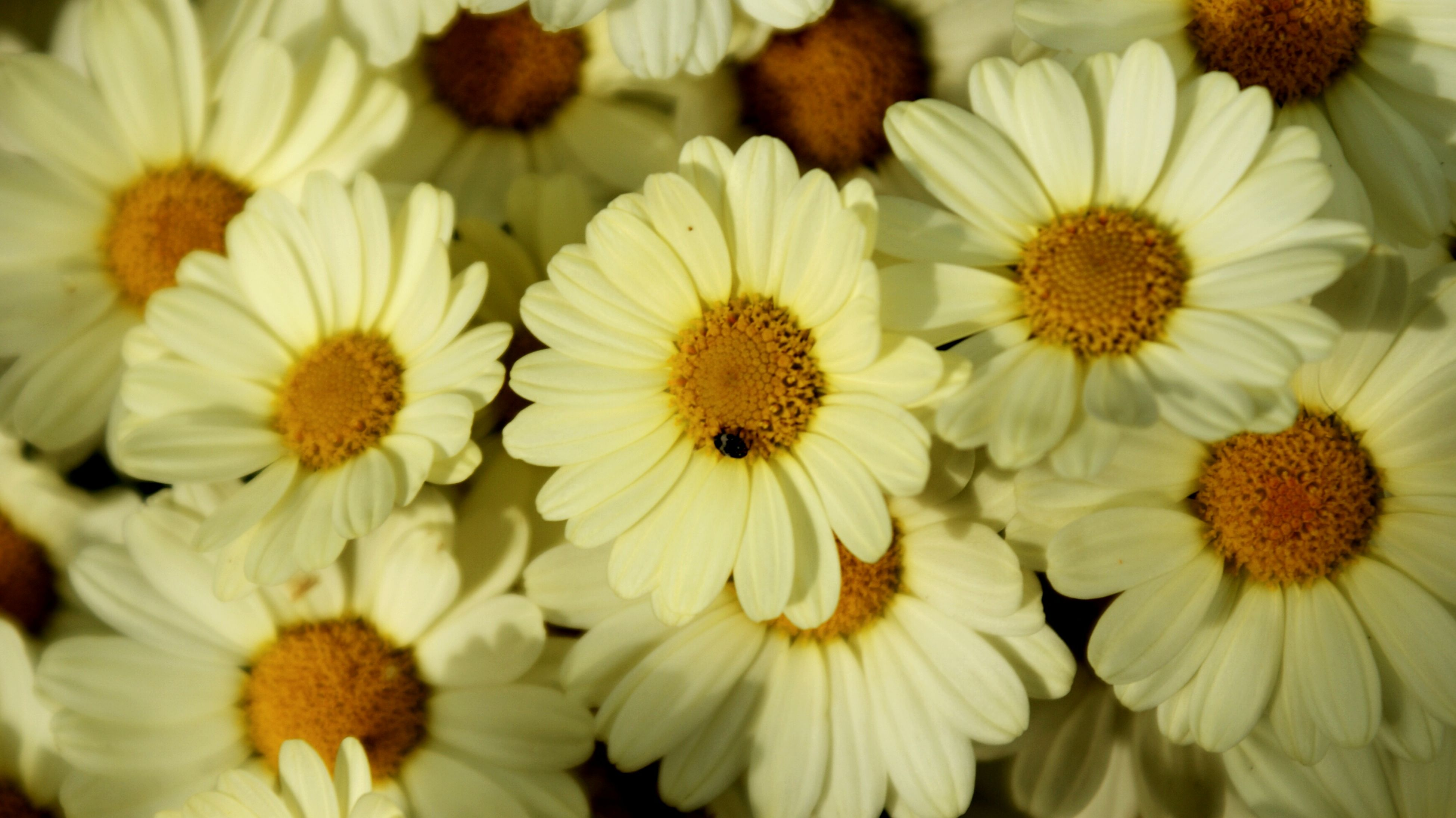 flower, freshness, petal, flower head, fragility, beauty in nature, white color, growth, full frame, nature, blooming, pollen, backgrounds, close-up, high angle view, plant, in bloom, daisy, blossom, abundance