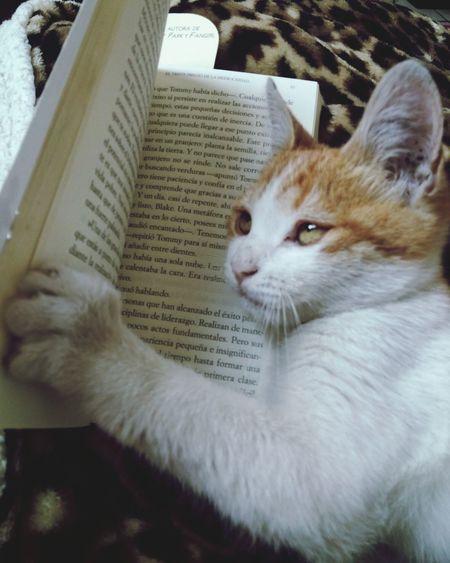 Intelectual Cat Feline Intelectual Mode Reading A Book Goodhabits