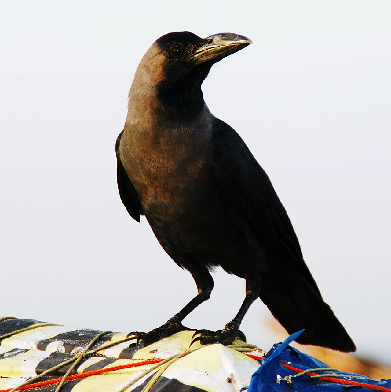 Krähe Kraehe Crow Vogel Bird Blackbird