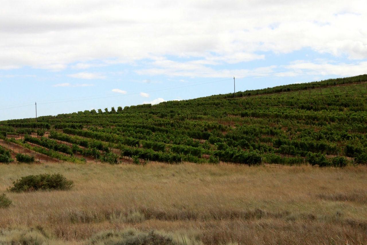Agriculture Agriculture Farm Field Grassy Green Color Landscape Landscape_Collection Landscape_photography Lush Foliage Stellenbosch The Cape Tranquil Scene Vinyards Viticulture Wine Farm Winelands
