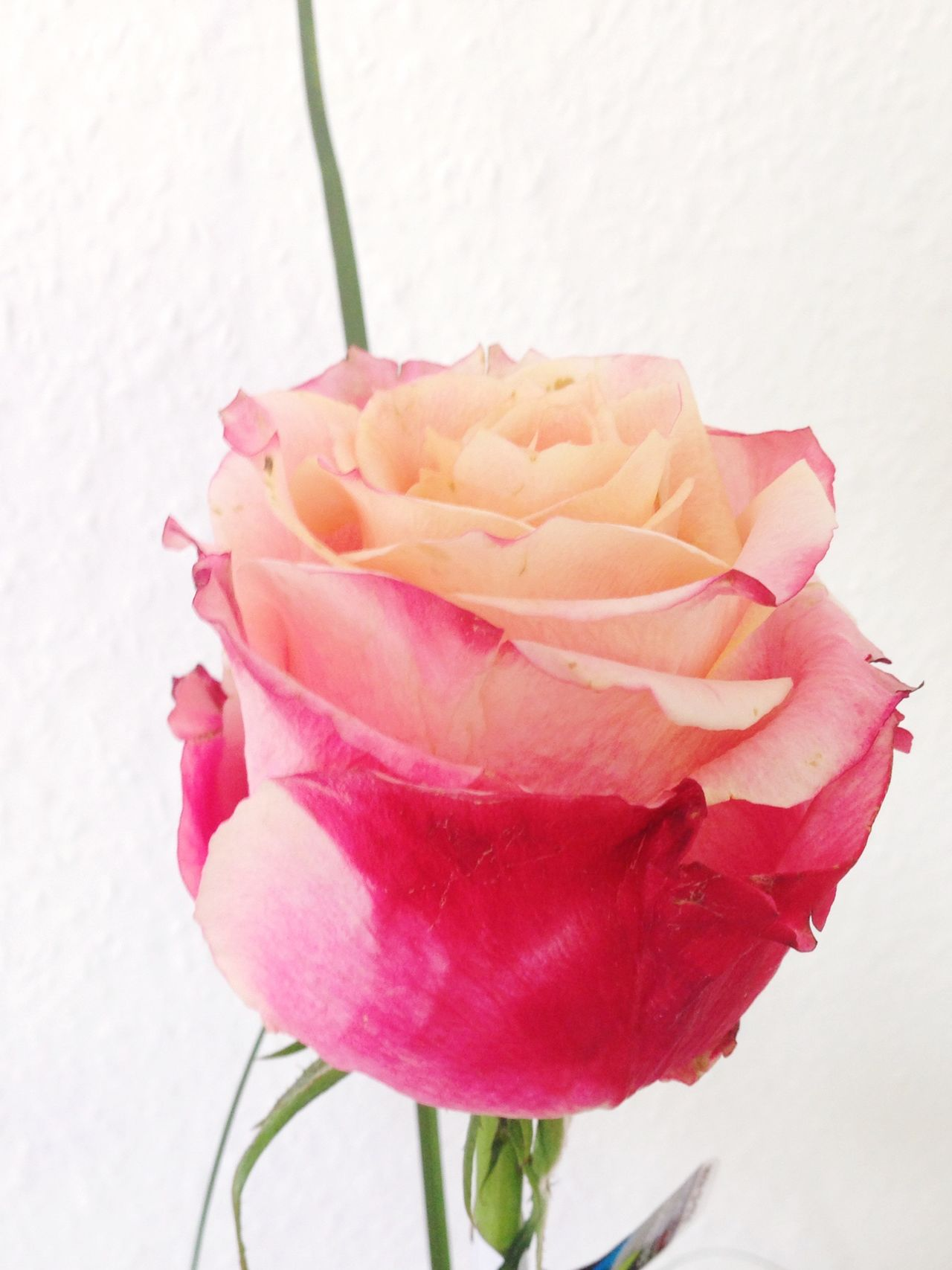 Roses Flowers  Rose🌹