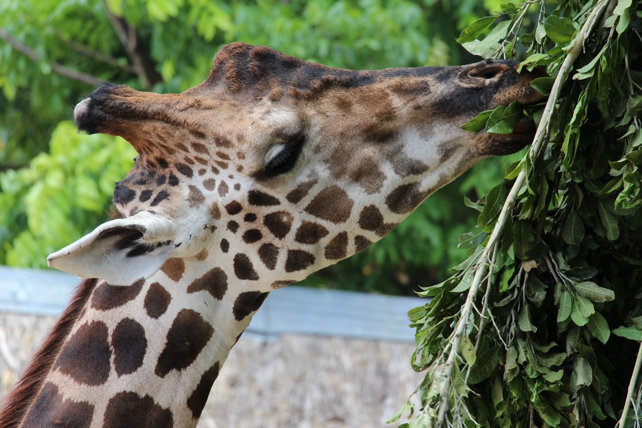 Beautiful stock photos of giraffe, Animal Head, Animal Themes, Animals In The Wild, Close-Up