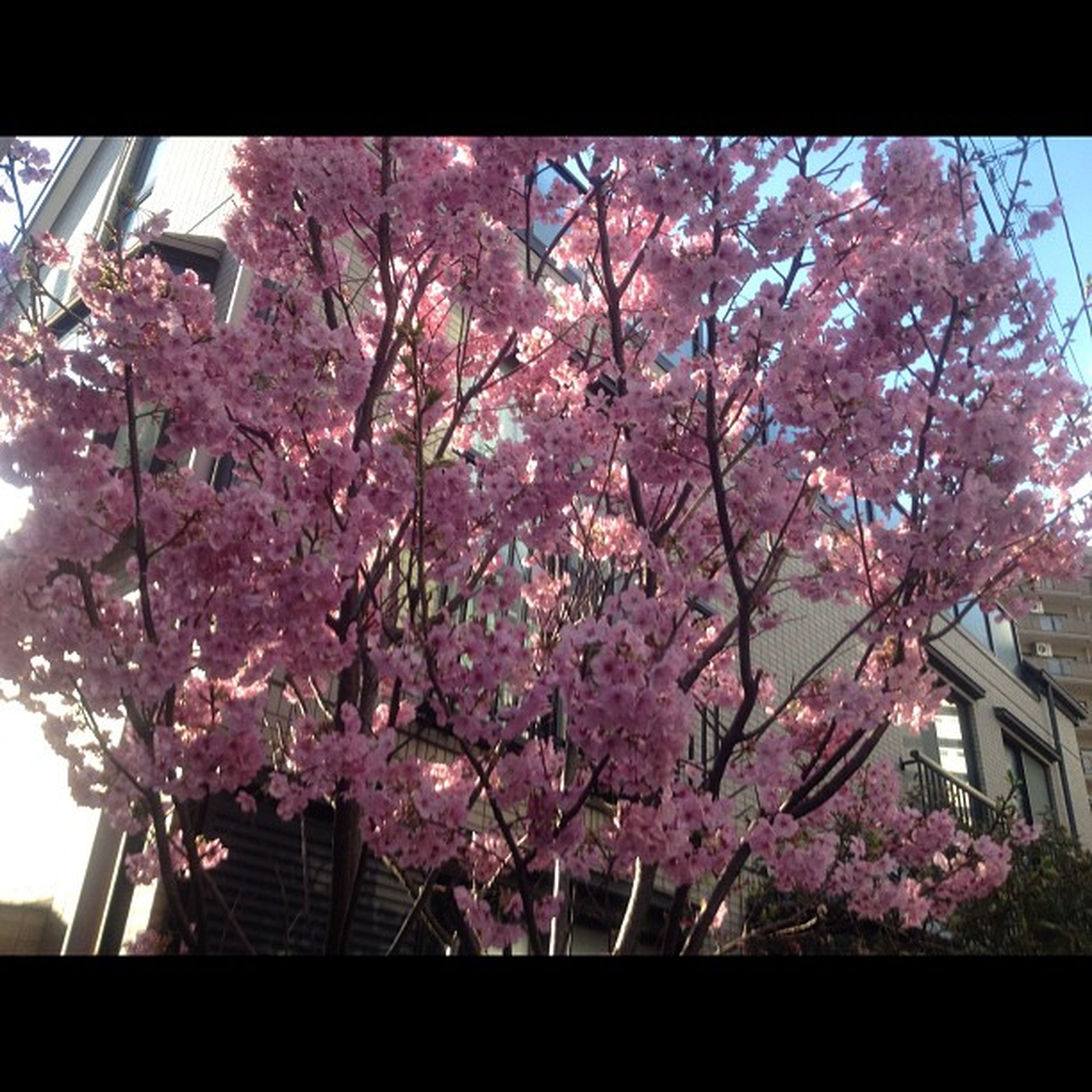 flower, tree, low angle view, branch, growth, pink color, built structure, building exterior, freshness, architecture, blossom, cherry blossom, fragility, nature, cherry tree, beauty in nature, pink, in bloom, day, outdoors