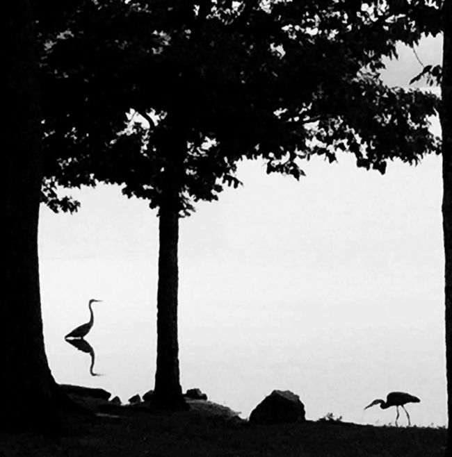 On Old Hickory Lake in Tennesseee, USA Birds Nature Blackandwhite Monochrome Nature On Your Doorstep The Great Outdoors - 2015 EyeEm Awards Fog Silhouette