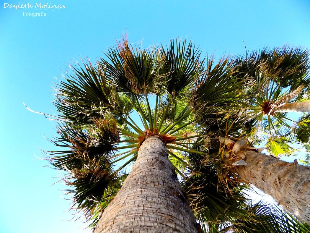 Angulo Beauty In Nature Cielo Cieloazul Clear Sky Day Eyem Best Shots Nature_collection Eyem Nature Lovers  Eyemnaturelover Eyemphotography Growth Low Angle View Nadir Nature Nature Photography Nature_collection Naturelovers No People Outdoors Palm Tree Palma Palmas Sky Tree Tree Trunk