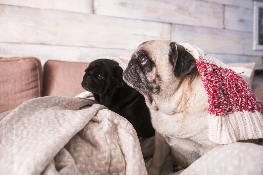 two females pug dogs under blanket Animal Themes Blankets Close-up Day Dog Domestic Animals Domestic Room Fat Friendship Home Interior Indoors  Lookingup Mammal No People One Animal Pets Pug Puppy Short Hair Sitting Sofa Sweet Love