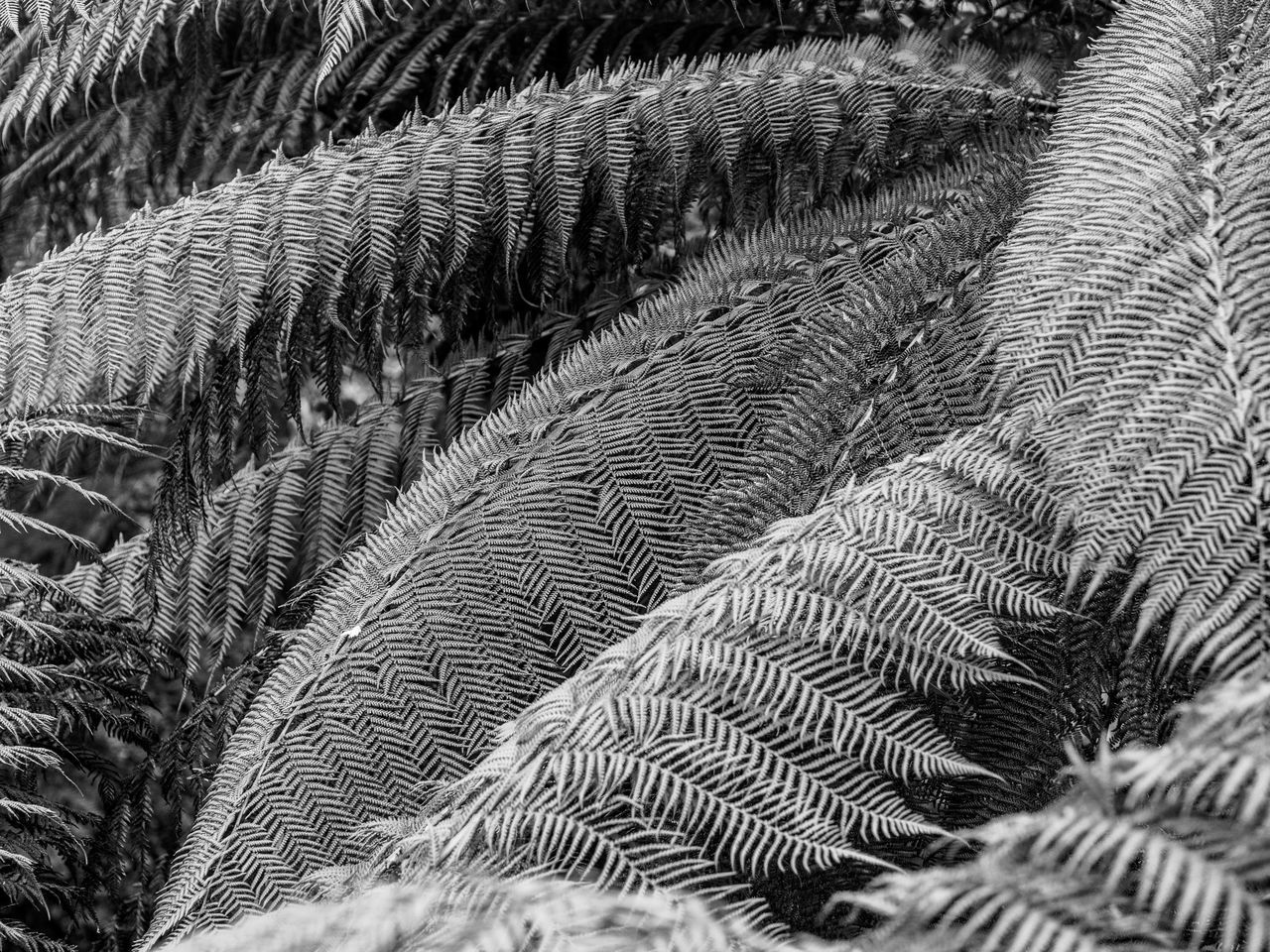 New Zealand tree fern Abstract Backgrounds Blackandwhite Close-up Fern Fragility Nature Pattern Tree