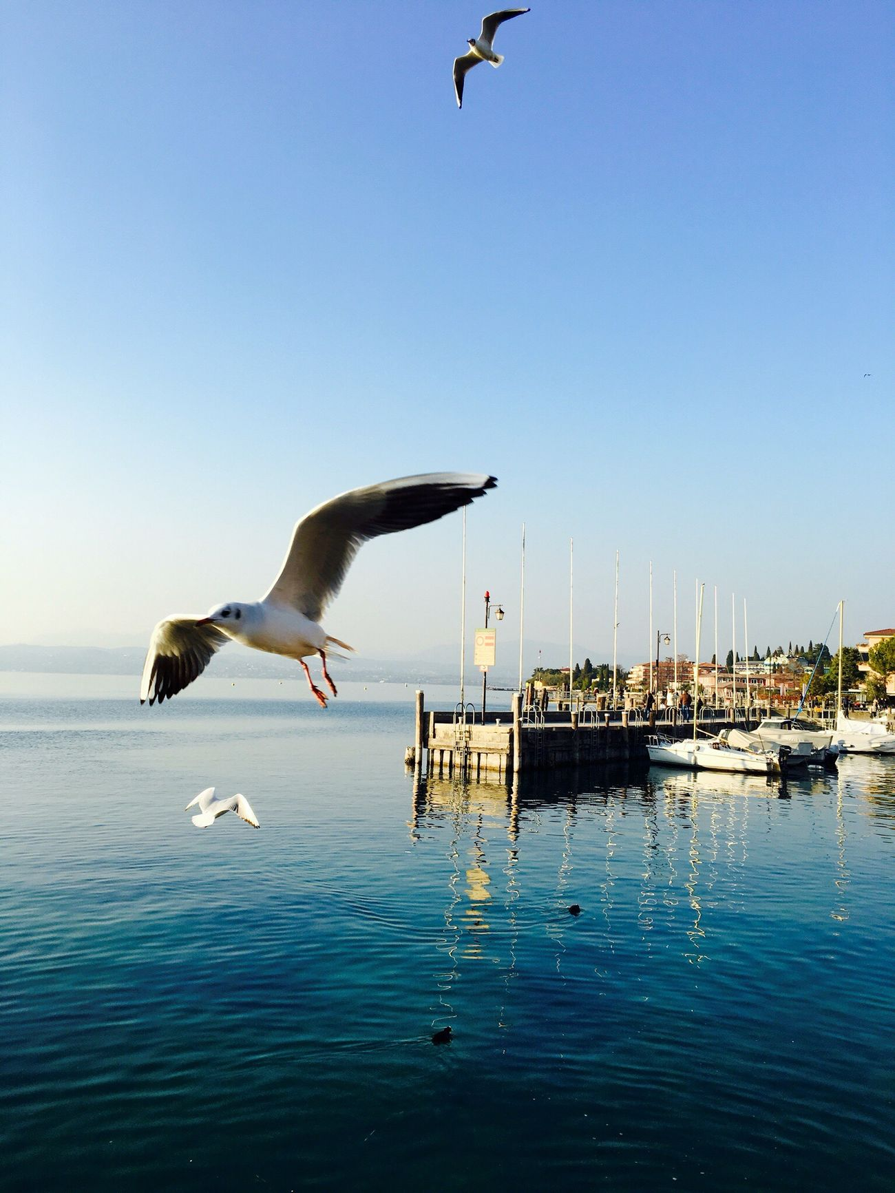 Photobombing Blue Sky Bird Sirmione Sirmionedelgarda Lake Flying Seagull Phoyography IPhoneography Italy Italia Clear Water Photobomb Animal Themes Animal Animal_collection Close-up