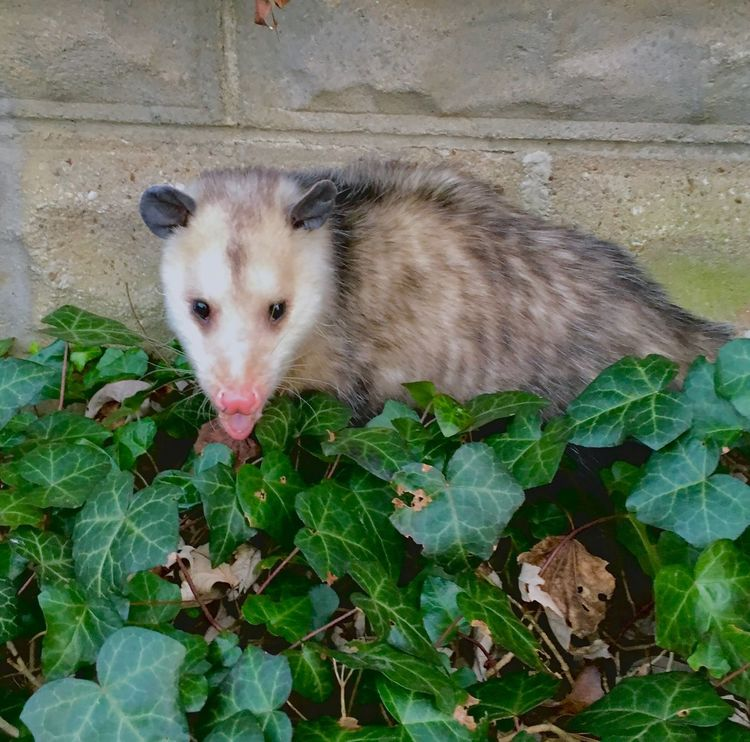 Possum Ivy Leaves Critter Opossum