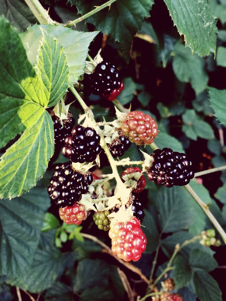 fruit, leaf, berry fruit, freshness, food and drink, blackberry, growth, close-up, plant, no people, outdoors, food, healthy eating, red, nature, green color, day, beauty in nature