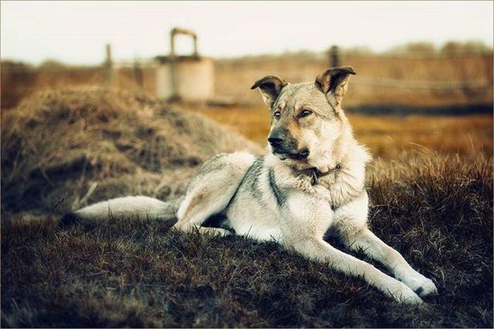пес песик собака овчарка лайка собаканасене вполе деревня умныйпес Dog Smartdog Shepherd Village Infield Photographer Sonya7 Sonya Sony