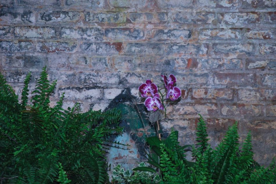 Orchid in Ferns Flower Brick Wall Built Structure Fragility Beauty In Nature Plant Pink Color Growth Nature No People Day Brick Wall Outdoors Architecture Building Exterior Close-up Purple Plant Potted Plants Decoration Wedding Background Greenhouse Venue Graffiti