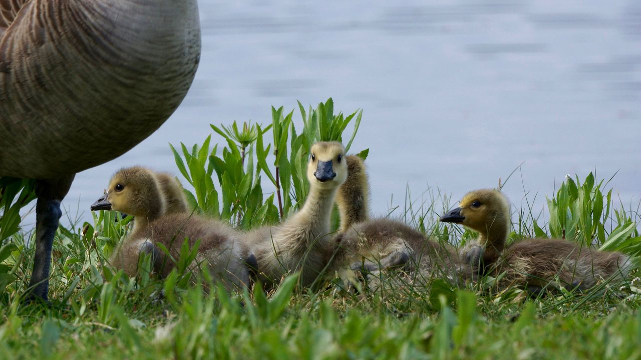 """""""Spring has sprung"""" Animal Family Field Lakeshore Outdoors Spring,babies,geese,goslings,family,group, Wildlife Young Animal Young Bird"""