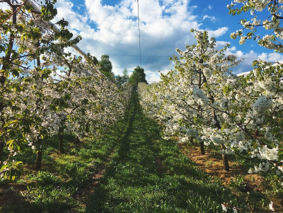 Cherry blossom tree field Tree Growth Nature Sky Beauty In Nature Agriculture Green Color Outdoors No People Rural Scene Cloud - Sky Scenics Tranquility Day Landscape Freshness Blooming
