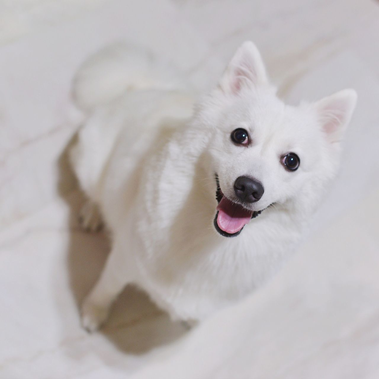 From my Instagram: wes_c Japanese Spitz Petstagram Ilovemydog Cute Pets