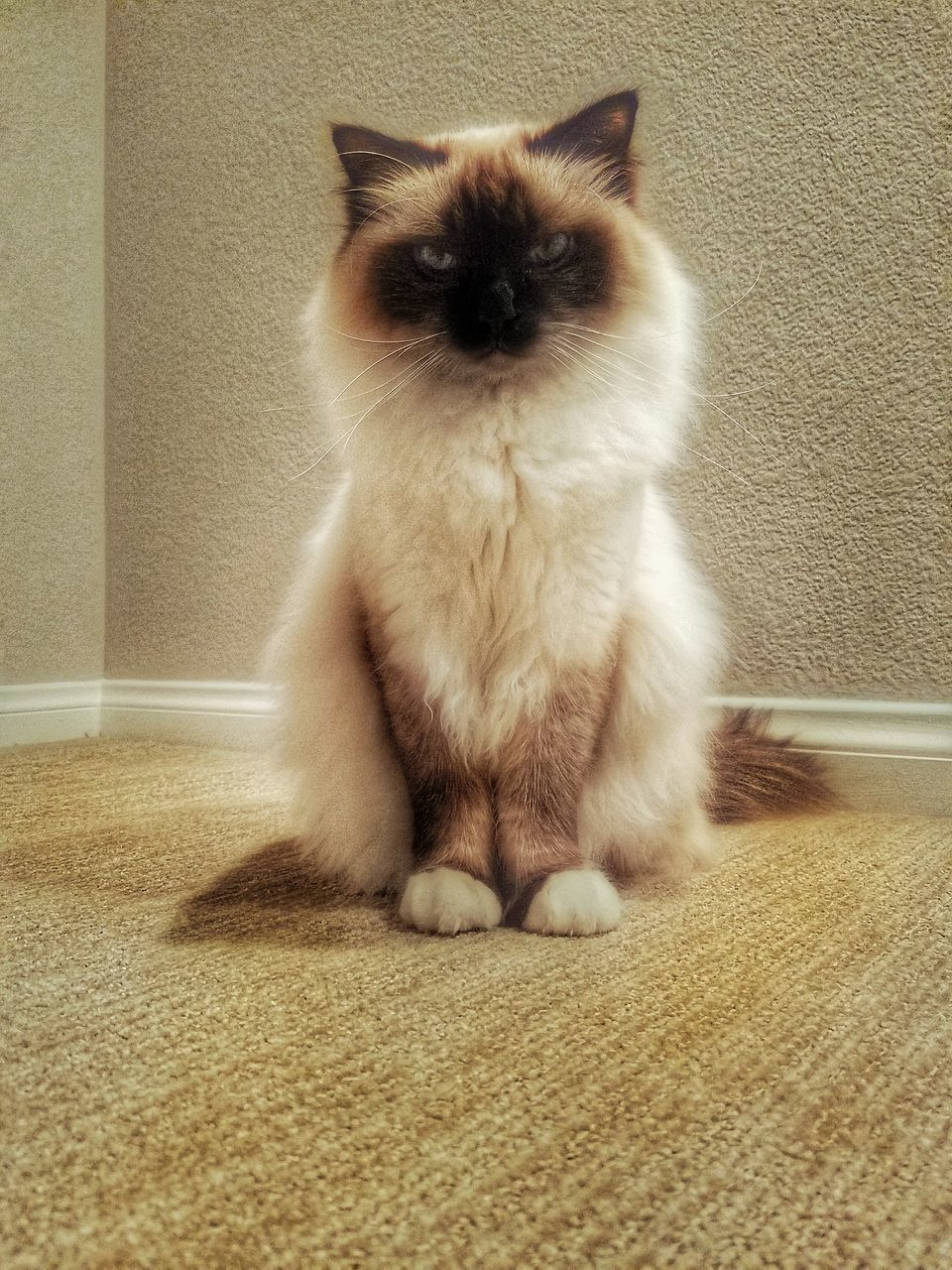 domestic cat, pets, one animal, domestic animals, feline, animal themes, mammal, indoors, sitting, whisker, home interior, portrait, no people, full length, looking at camera, persian cat, day, siamese cat
