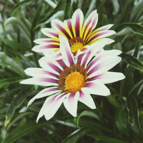 Flower Flowers Garden Daisy