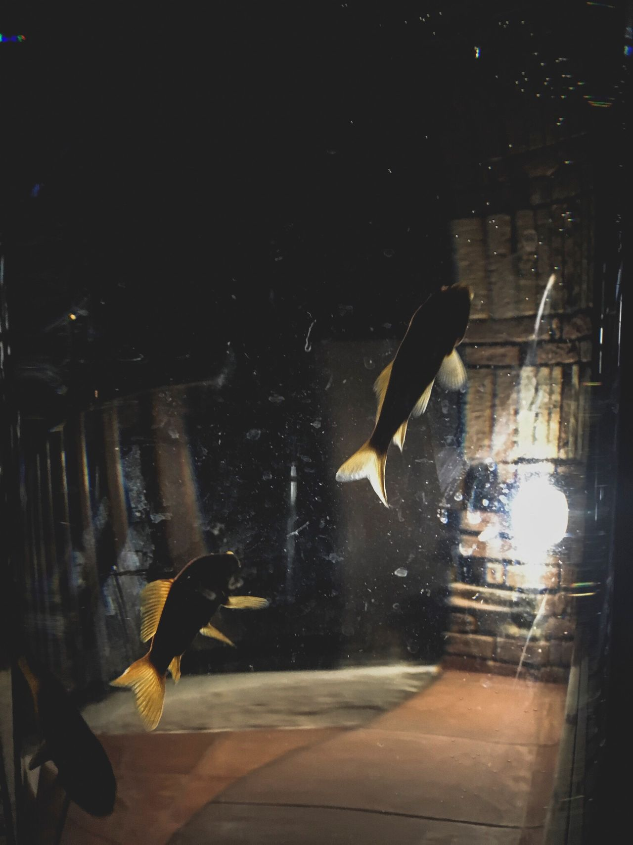 Fish Fishbowl Feel Free or Not Flying in the Water Orangefish David De La Cruz David De La Cruz Indoors  Nature Night