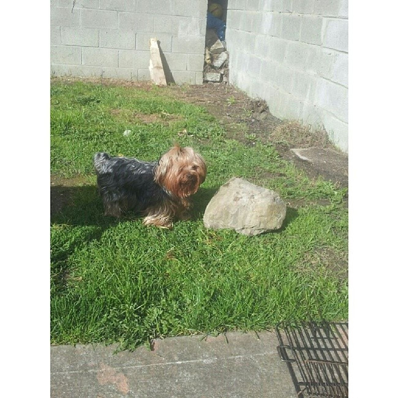 Lucy Lusia Yorkshireterrier Yorkie cute baby puppy