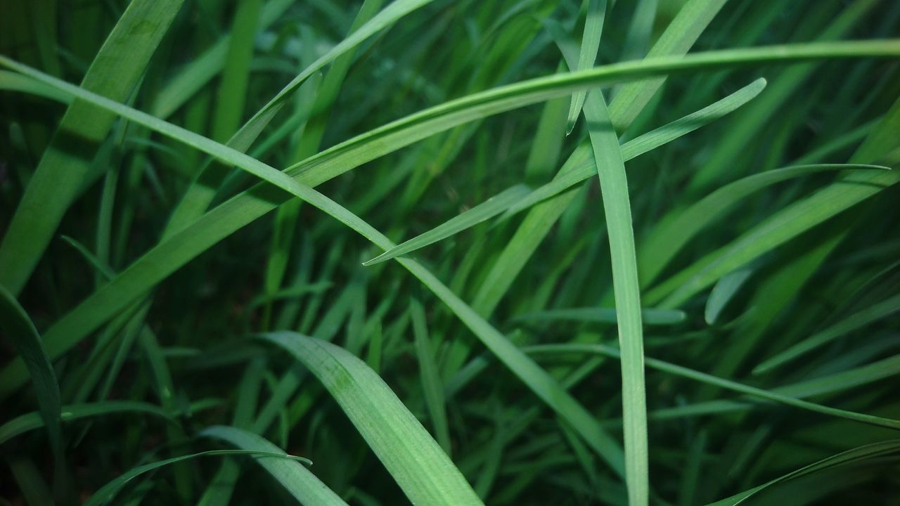 Honduras ♥ Green Color Growth Nature Leaf Close-up Grass Blade Of Grass Plant Agriculture Field No People Beauty In Nature Freshness Outdoors Day