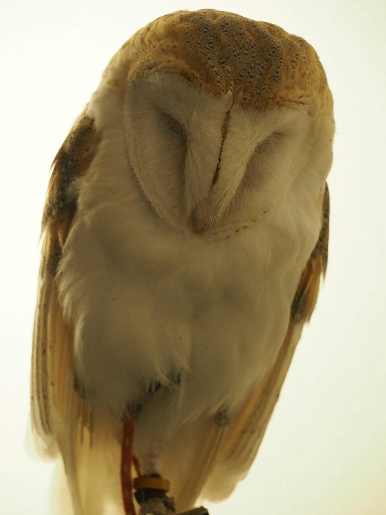 Owls Owl Birds Bird Bird Photography Taking Photos EyeEm Birds 可愛い(笑)。