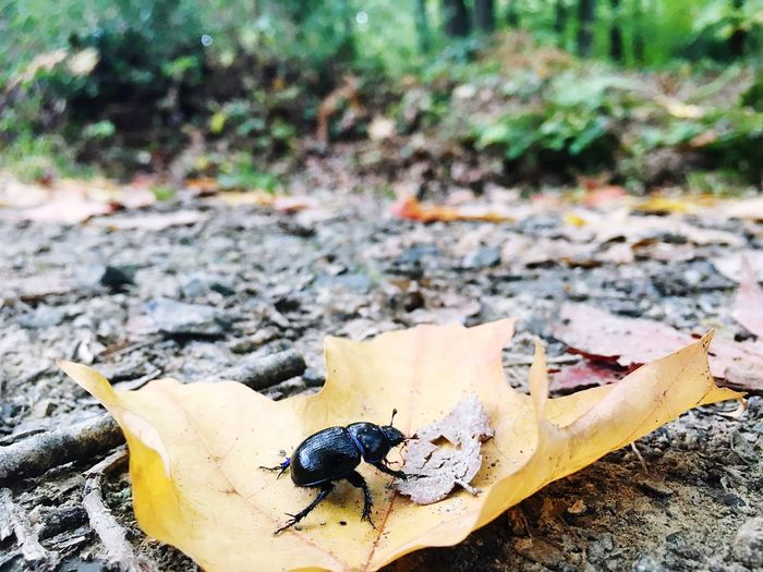 Mon pote le scarabée Focus On Foreground Day Outdoors Messy Tranquility No People Tranquil Scene Scarabeo Nature Insect Forest Forestwalk Forest Photography Enjoying Life Maximum Closeness