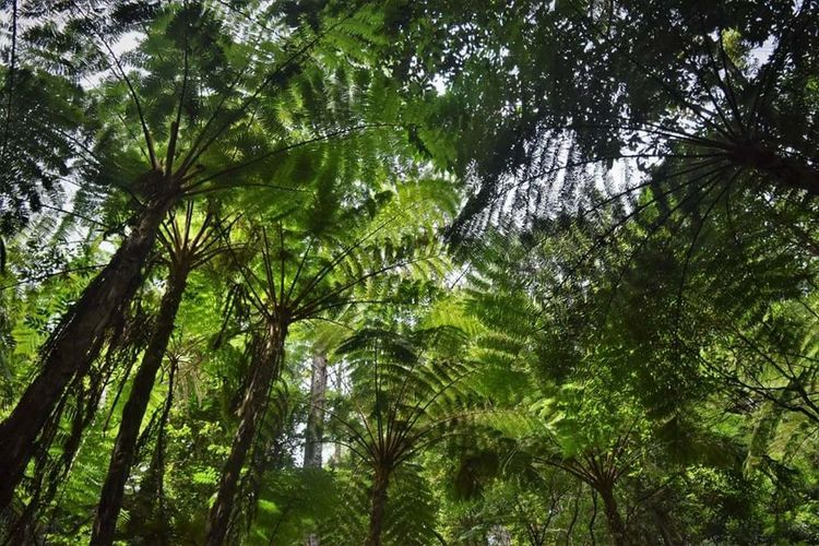 Fern canopy of Cusuco National Park, Honduras. Forest Beauty In Nature Tranquility Outdoors Tree Nature Growth Environment First Eyeem Photo