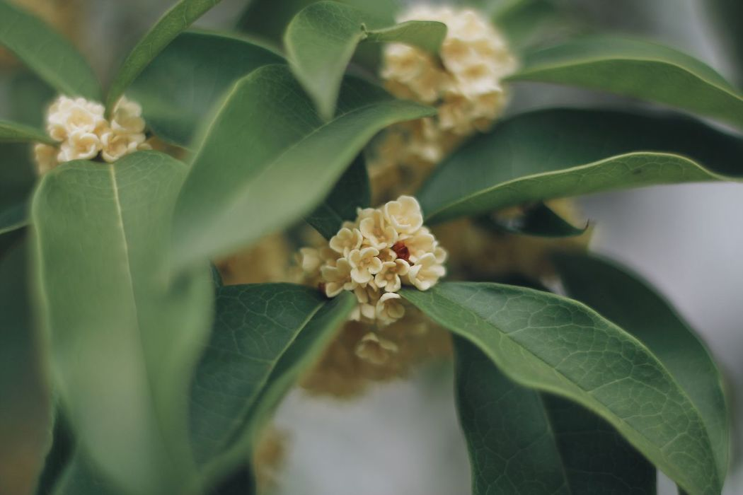 Osmanthus Osmanthus Fragrans Flower Leaf Growth Petal Flower Head Fragility Plant Green Color No People Beauty In Nature Close-up Freshness Nature Day Indoors  Yellow Yellow Flower Mini The Week On EyeEm Outdoors EyeEmNewHere Naturelovers Autumn