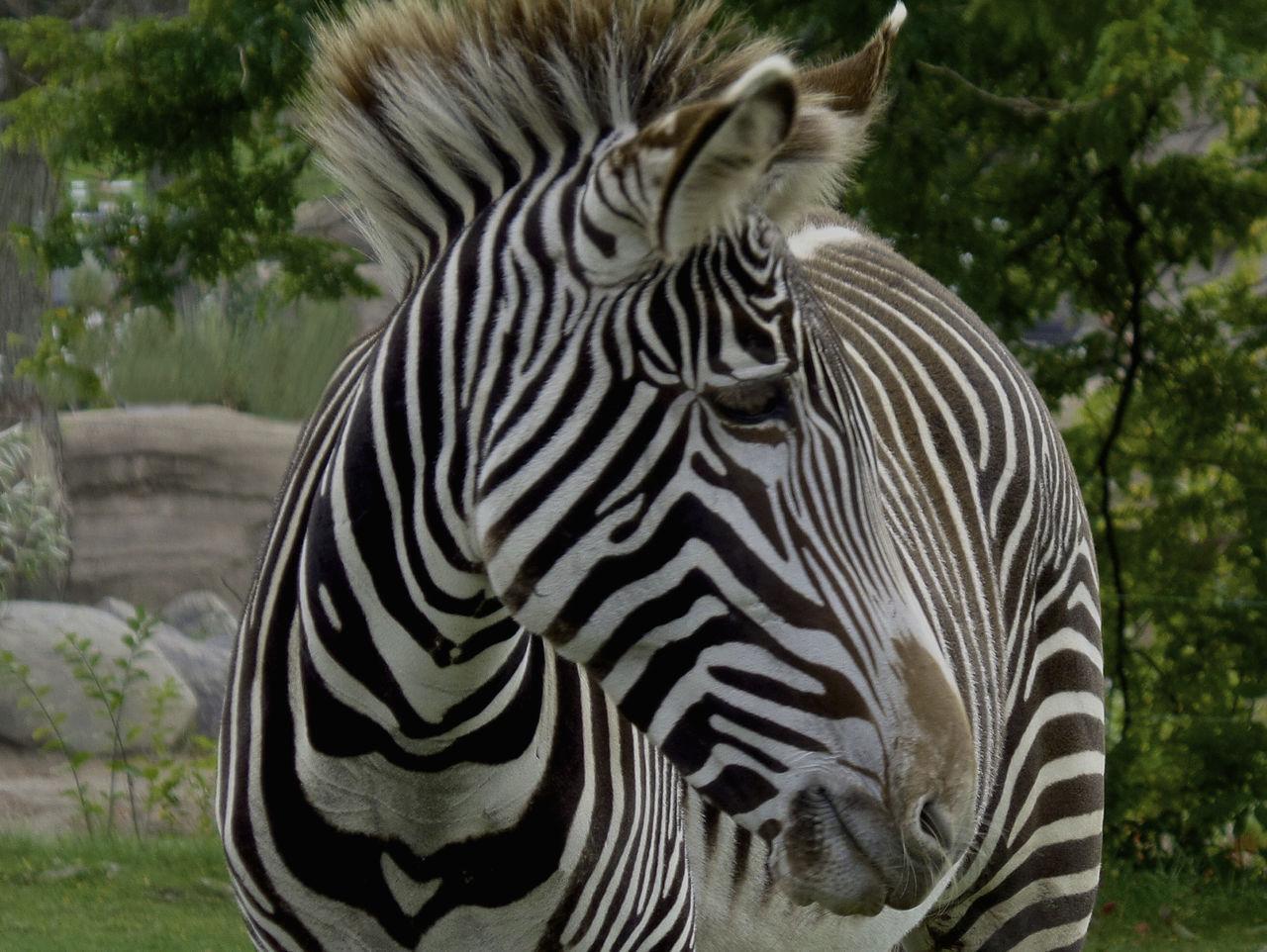 animals in the wild, striped, one animal, animal themes, animal wildlife, zebra, day, outdoors, nature, focus on foreground, animal markings, no people, mammal, safari animals, close-up, tree