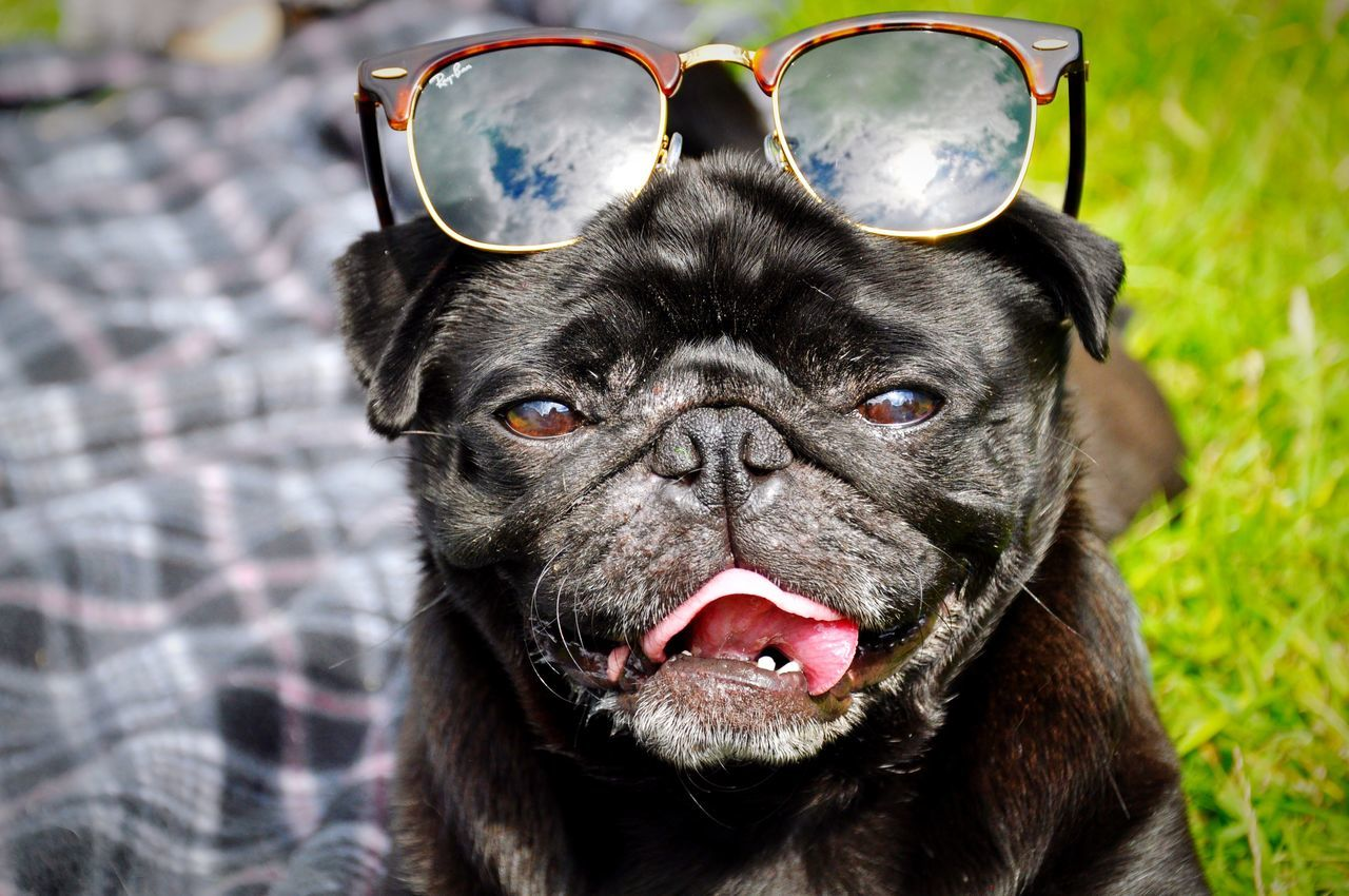 Beautiful stock photos of french bulldog, Alertness, Animal Head, Black Color, Close-Up