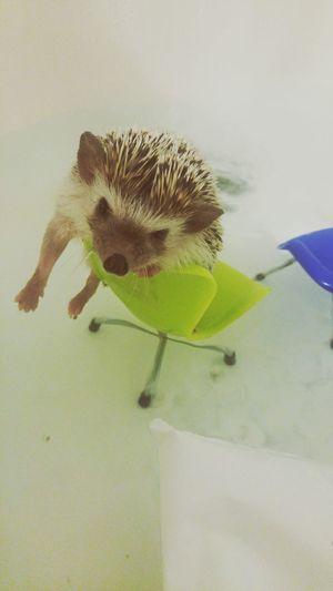 Hedgehog One Animal Animal Themes Mammal Pets No People Close-up Cute Animal Small Animal Modern Chairs