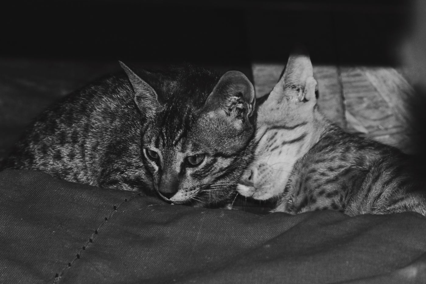 Photography Pets Animals Cats Kittens Felines Cute Siblings Sibling Love Resting Blackandwhite Black And White Black & White Siālkot Sialkot Pakistan Indoors