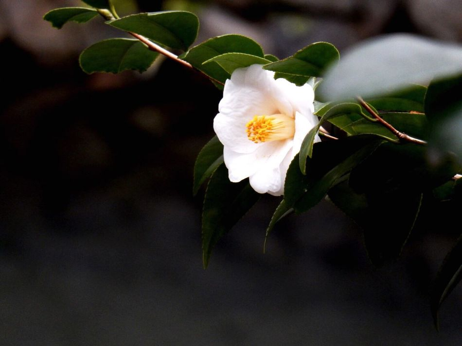 Japanese Style Ehime Flowers Nature Life Nature_collection White Camellia Camellia 白椿