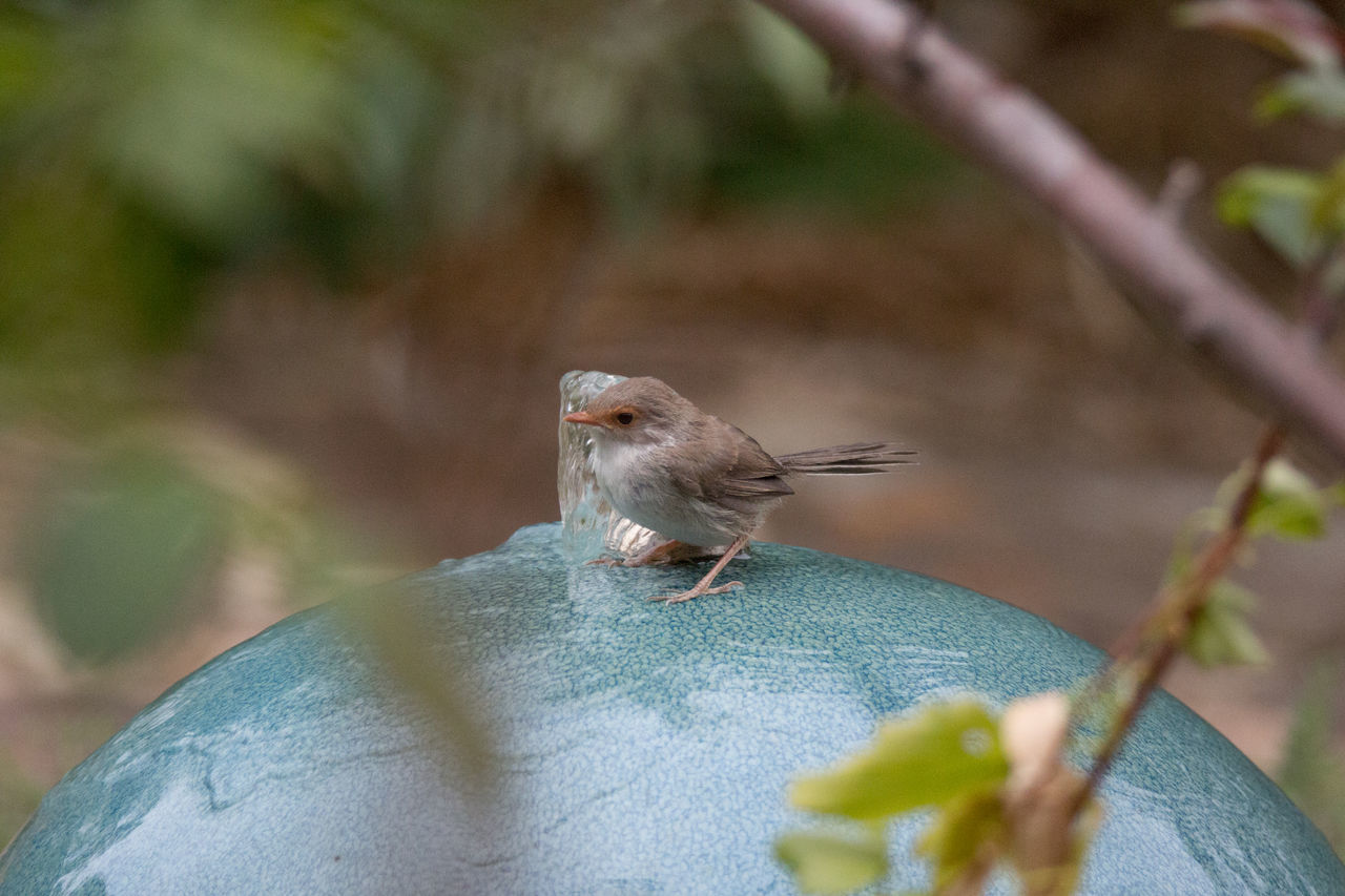 The tiny female Fairy Wren playing in the water feature. Animal Themes Animal Wildlife Animals In The Wild Australia Close-up Day Fairy Wren Insect Nature No People One Animal Outdoors Perching The Week Of Eyeem Tiny Bird Water Bird