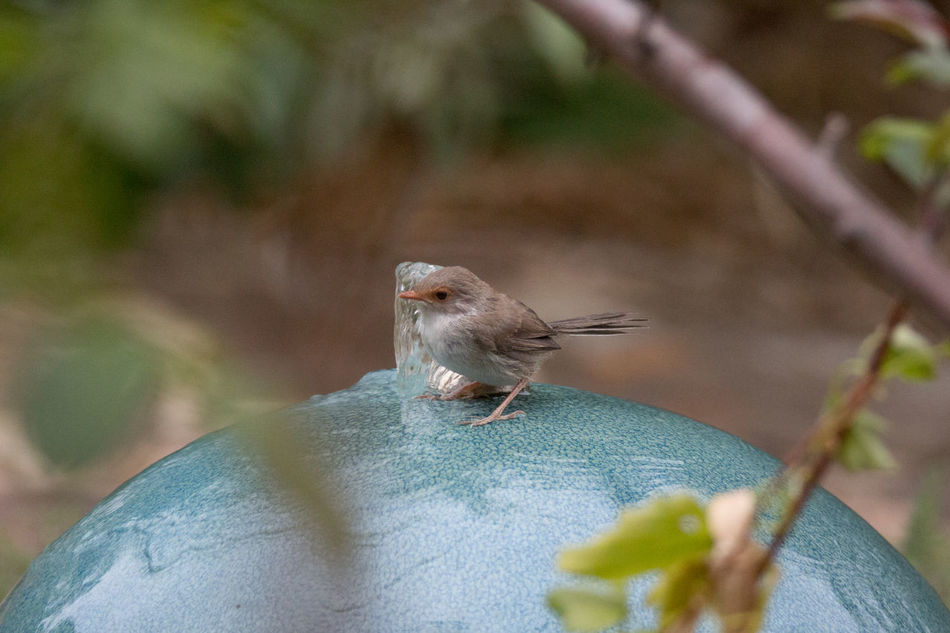 The tiny female Fairy Wren playing in the water feature. Animal Themes Animal Wildlife Animals In The Wild Australia Close-up Day Fairy Wren Insect Nature No People One Animal Outdoors Perching The Week Of Eyeem Tiny Bird Water Bird Adapted To The City
