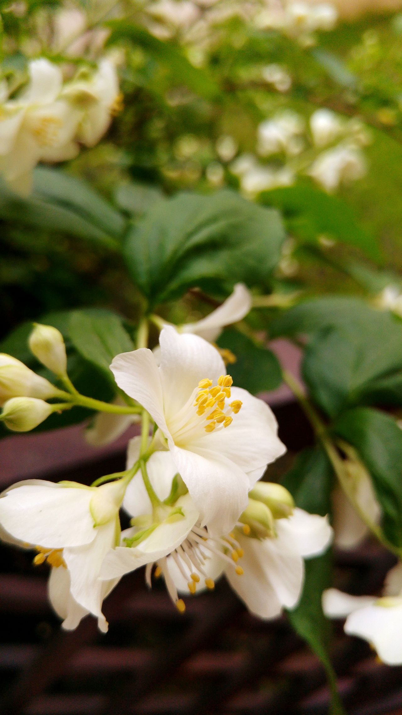 Jasmine Flower Beautiful_flower Nature_collection Flower Collection