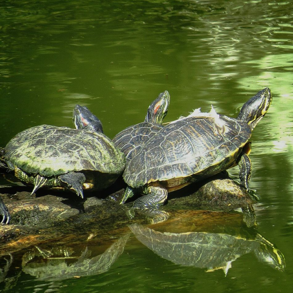 Beautiful stock photos of turtle, Animal Themes, Animals In The Wild, Caracas, Day