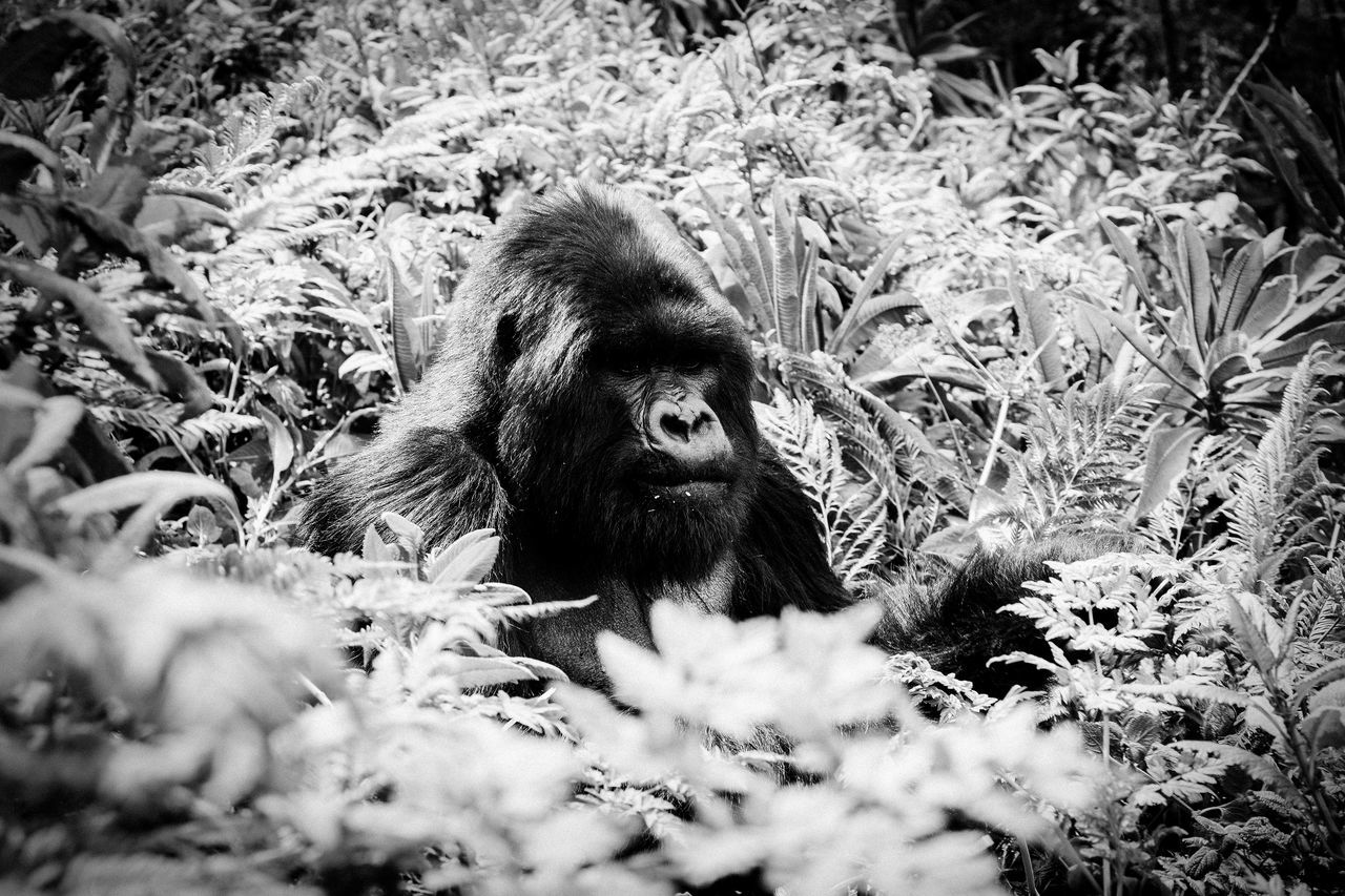 Gorilla Tracking in the jungle in Rwanda Africa Animal Themes Animal Wildlife Animals Animals In The Wild Day Grass Jungle King King Kong King Of The Jungle Mammal Monkey Nature Nature No People One Animal Outdoors Plant Rwanda Strong Wild Wildlife Wildlife & Nature Wildlife Photography The Great Outdoors - 2017 EyeEm Awards