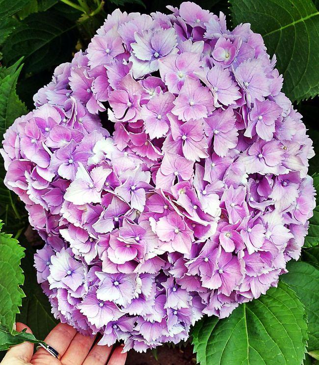 Hello World Colori Flower Ortensia Grannyflower Grannylove
