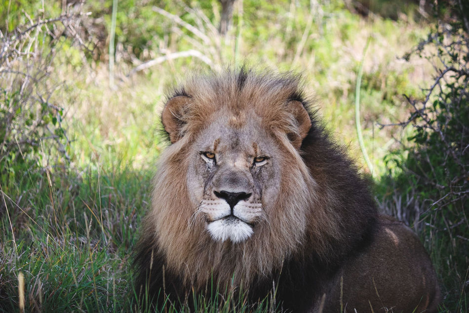 Animal Hair Animals In The Wild Beauty In Nature Close-up Day Endangered Species Field Focus On Foreground Grass Landscape Lion Mammal Nature One Animal Outdoors Safari Animals Wildlife Zoology