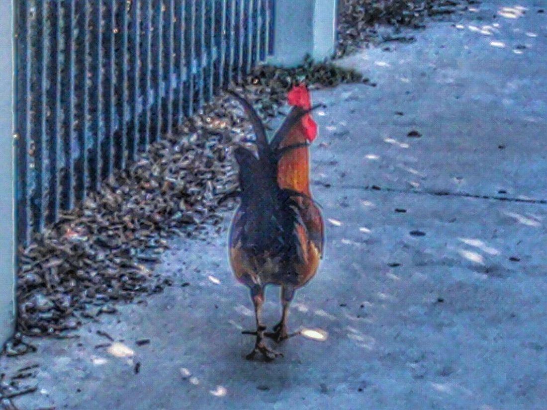 Key West chicken Chicken Rooster Keywest Sidewalk CBMetro313Pics