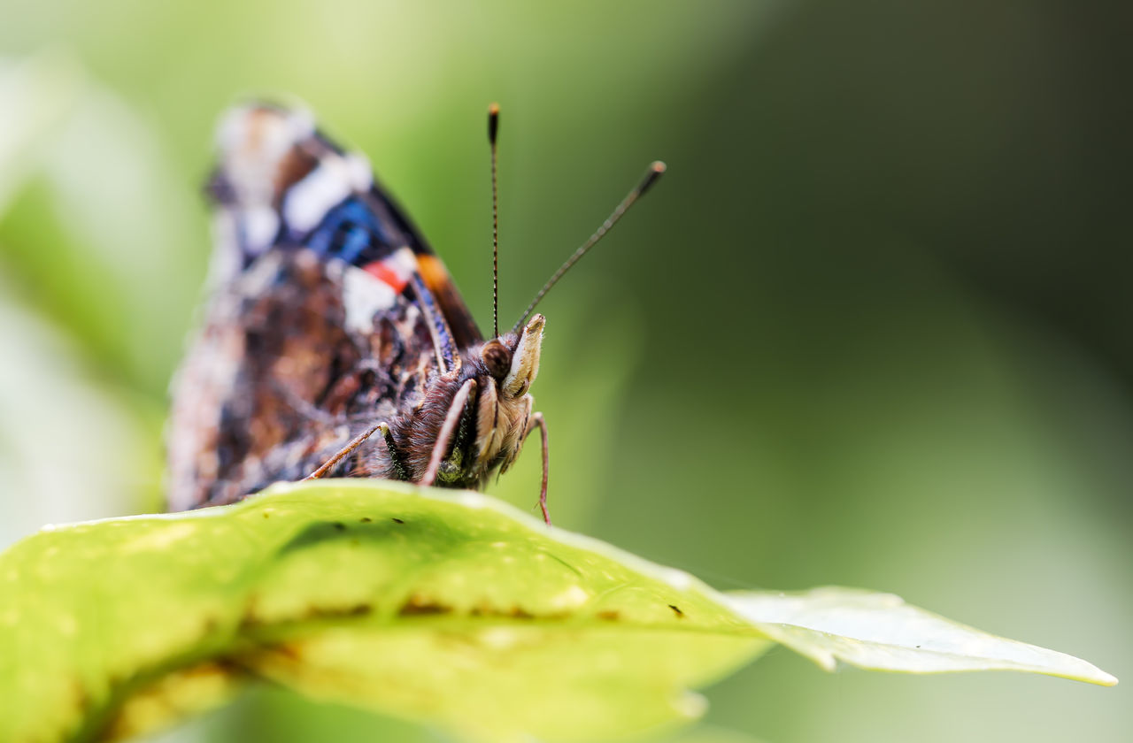 Red Admiral Butterfly wings close. Animal Themes Animal Wildlife Animals In The Wild Beauty In Nature Butterfly - Insect Close-up Day Focus On Foreground Green Color Insect Leaf Nature No People One Animal Outdoors Red Admiral Butterfly Wings Closed