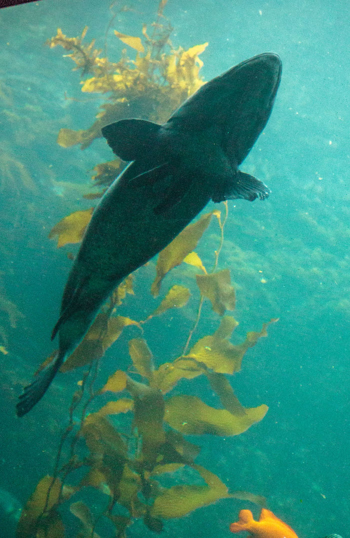 Giant sea bass fish Stereolepis gigas floats among giant kelp Macrocystis pyrifera in Southern California California Giant Fish Giant Sea Bass Sea Bass Stereolepis Gigas Animals In The Wild Day Fish Kelp Kelp Forest Nature Sea Life Swimming UnderSea Underwater Water