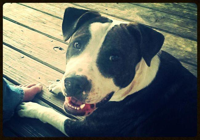 My ride or die. Tuff Dogs Dogstagram Pitbull Pitbull♥