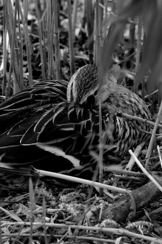 Canard Duck Blackandwhite Noir Et Blanc Animal Creteil Animaux Lac De Créteil Wild Nature