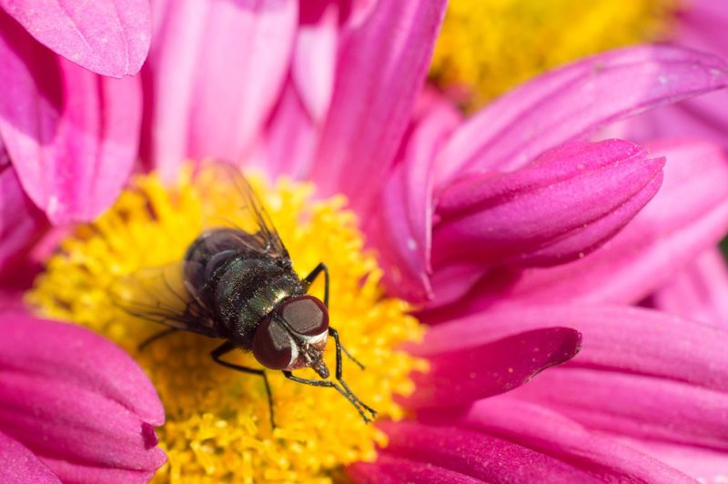 Flower Fly Beauty In Nature Nature Insect Petal Pink Flower Outdoors Beauty In Nature Macro Selective Focus Close-up Macro Photography
