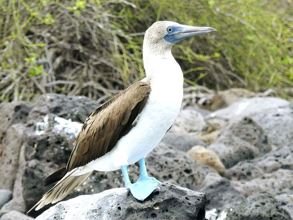 Animal Wildlife Bird Animals In The Wild Animal Themes One Animal Nature Outdoors Day No People Beak Full Length Perching Close-up Galapagos Blue Footed Boobie Blue Footed Booies