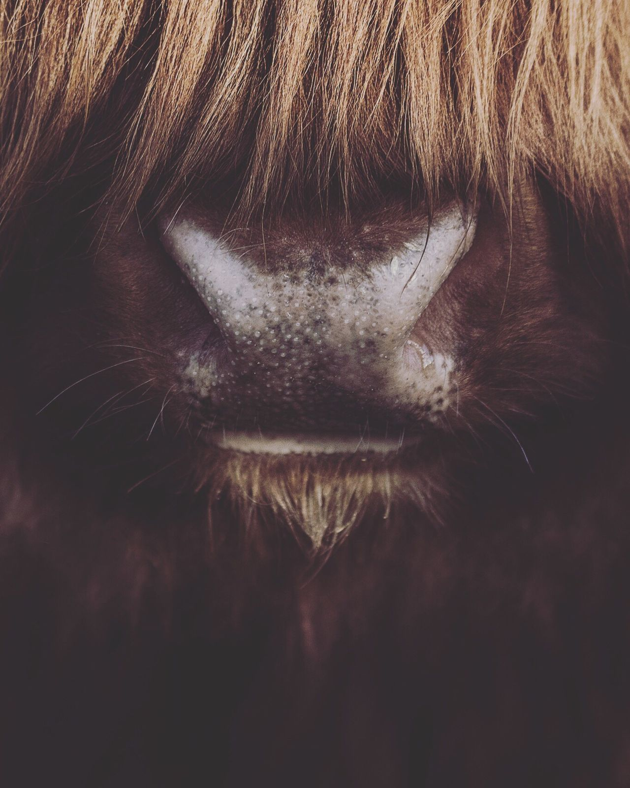 I can smell U...! Close-up Cattle Animal Themes Animal Wildlife Animals In The Wild Agriculture Photography Agriculture Cows In A Field Fur Furry Nose Animal Nose Brown Brown Hair Brown Fur Face Faces Of EyeEm Faces Of Summer Animal Face Animal Head  Animal Faces Animal Photography Animal Body Part Animal_collection